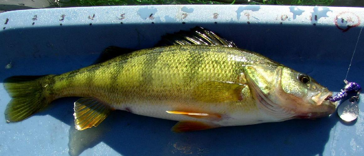 Big game buck for White perch fish
